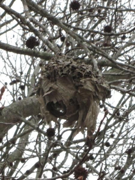 winter wasp nest