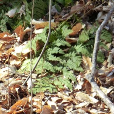 Wood fern 3 23 2013