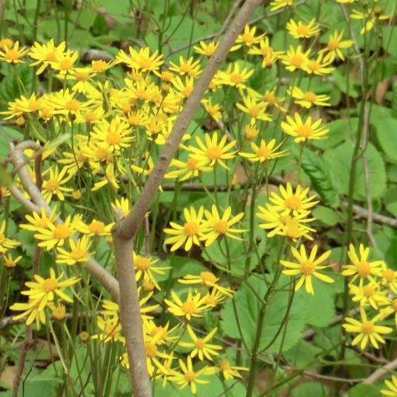 golden groundsel (Packera aurea)