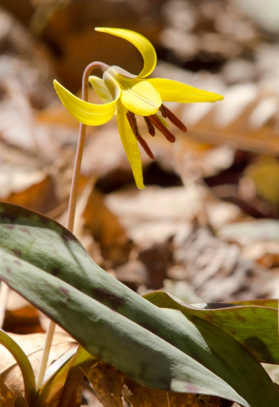 trout lily (photo by Ann Rohlfing)
