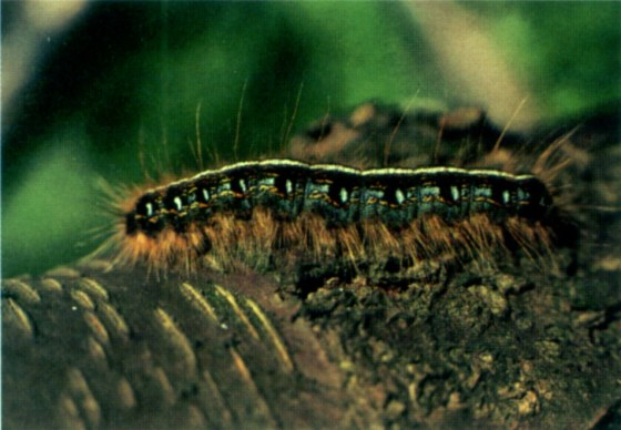 Eastern_tent_caterpillar_on_bark_-_single_-_USFS
