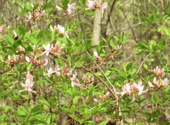 Rhododendron nudiflorum - pinxterbloom azalea