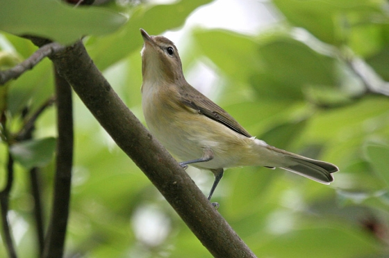 Warbling Vireo. Photo courtesy of John Harrison.