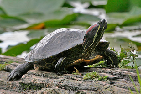 red-eared_slider_310np