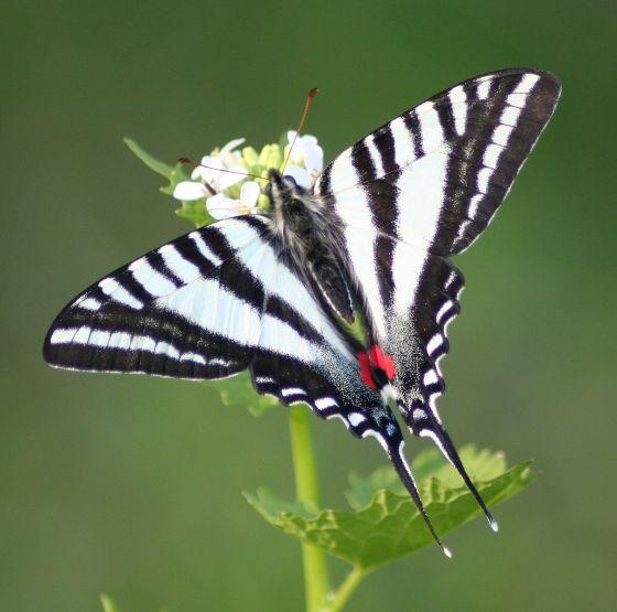 zebra swallowtail butterfly (photo by Megan McCarty)