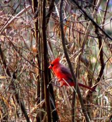 LMR cardinal 2