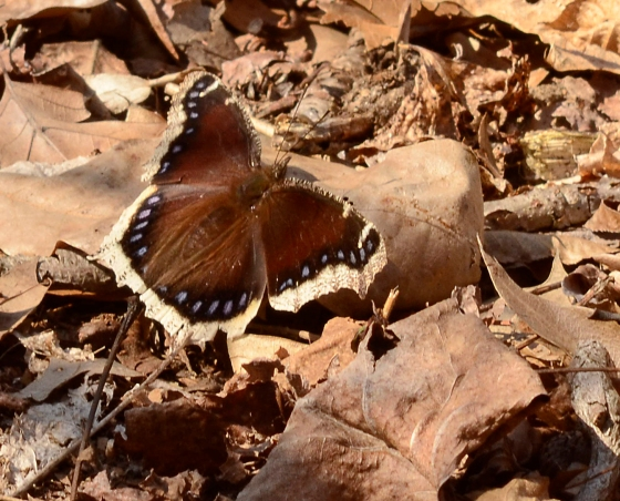 _AR24540 Just out of dormancy mourning cloak email