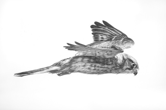 Kestrel 1 (Again, Alive, for Richard Skelton), graphite on paper, 16