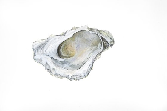 Oyster 11, graphite, colored pencil, watercolor pastel and oil pastel on paper, 11