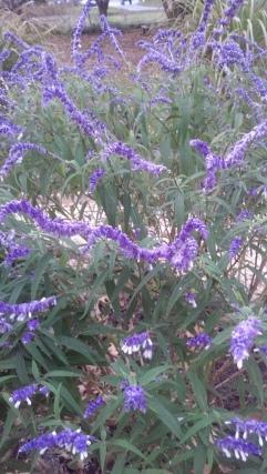 Pickering Purple Salvia closeup