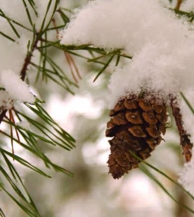 Pinus virginiana_WIB_Jan_Feb