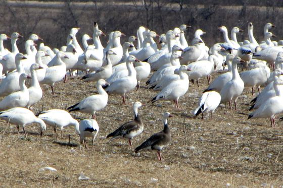 greater_snow_geese